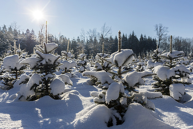 Forestries Open Christmas Tree Season